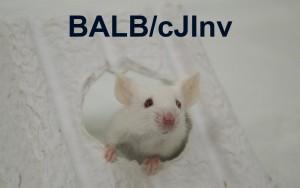 BALBcJ Revised Thumbnail JPEG