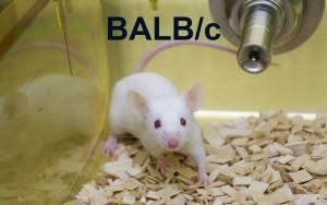 BALBc Thumbnail JPEG